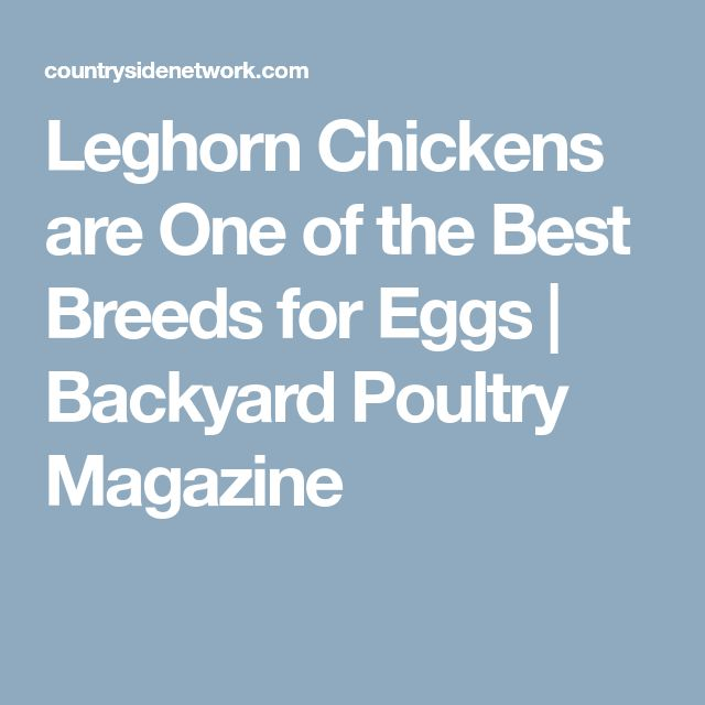 Leghorn Chickens are One of the Best Breeds for Eggs | Backyard Poultry Magazine