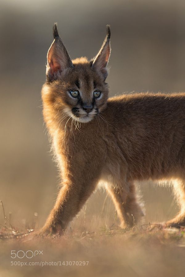 372 best images about Servals, Lynx & Caracals on ...