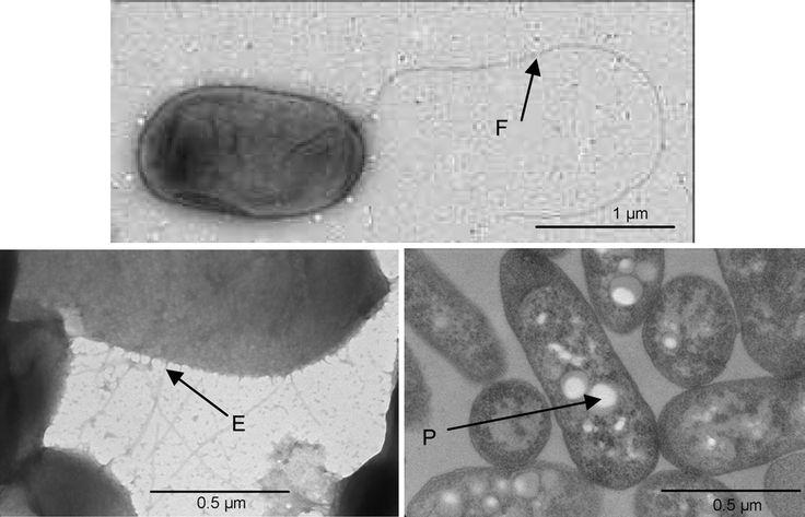 Ruegeria scottomollicae  [000.008.507]