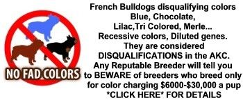 no fad colors | French Bulldog Puppies - AKC French Bulldogs For Sale to loving homes ...