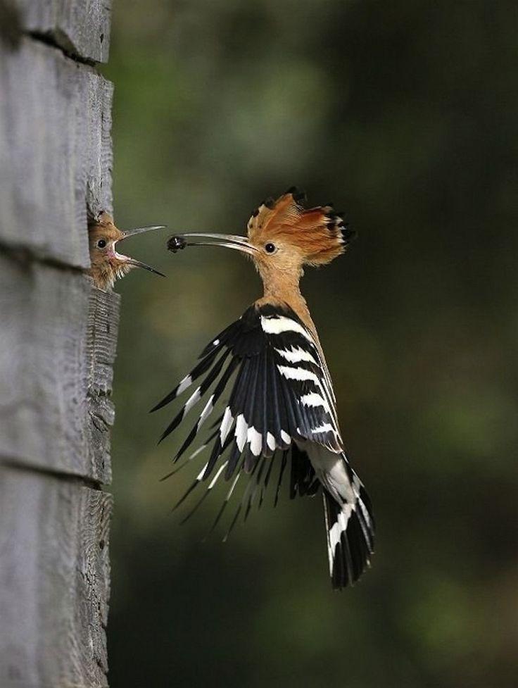 Une huppe fasciée nourrit son oisillon