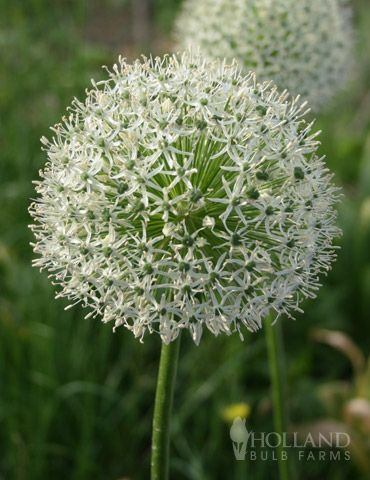 """Allium 'Mount Everest' - Very large blooms that can reach 6"""" in diameter. Excellent cut flower. Height 36"""". Zones 4-8"""