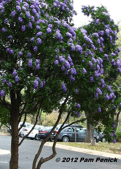 For my Texas buddies: Best-smelling tree in Texas: Sophora secundiflora: Texas Mountain Laurel
