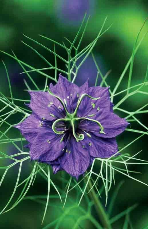 N is for Nigella damascena, an exquisite little annual that must be sowed directly into its bed as it does not care for being transplanted.  If it is happy, it will re-seed itself.  I am working on getting its repeating presence in my Zone 7, edge-of-the-Piedmont, Central Virginia garden.