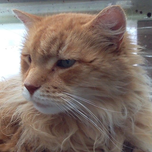 Charlie the Gentle Giant... He looks like a Lion and we're sure he's got some Maine Coon blood in there somewhere.  #cat #ginger #lion