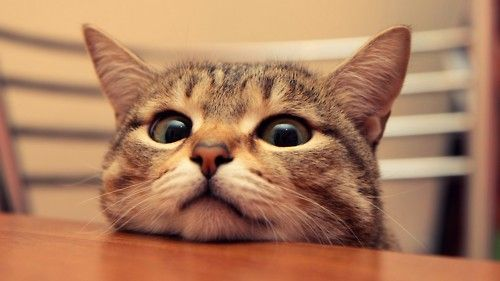 I want some food too...: Dinners Time, Kitty Cat, Funny Pictures, Cat Food, Funny Cat, 10Command, Cat 10, Desktop Wallpapers, 10 Command