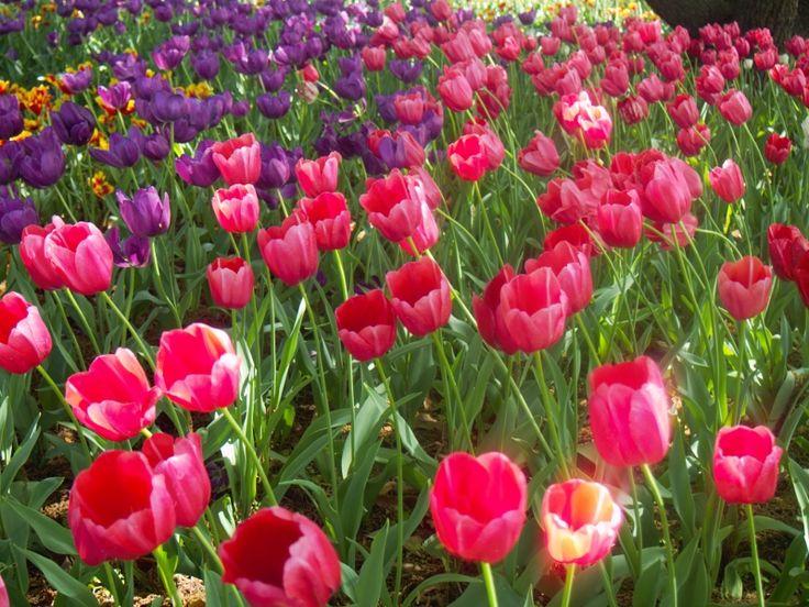 Glorious Tulips, Laurel Park