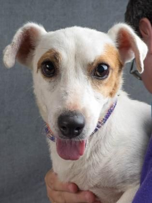 Adopt Beatrice, a lovely 6 years Dog available for adoption at Petango.com. Beatrice is a Terrier, Jack Russell and is available at the National Mill Dog Rescue in Colorado Springs, Co. www.milldogrescue... #adoptdontshop #puppymilldog #rescue #adoptyourfriendtoday