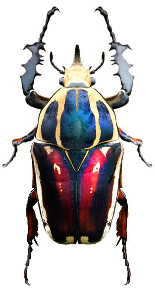 Mecynorrhina ugandensis. It looks like a superhero!!
