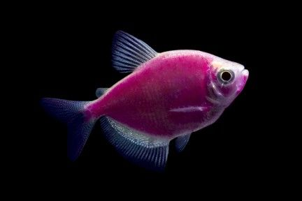 Glofish. Basically fish that glow in the dark.