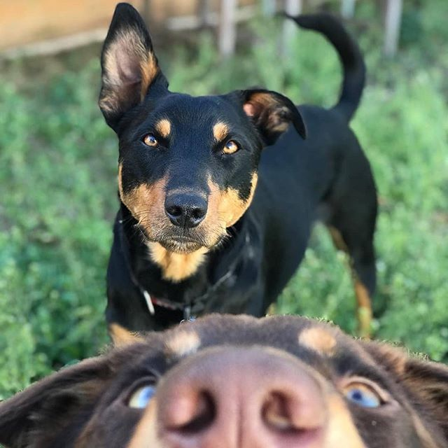 There S Always One Smarty Pants In Every Family Who Loves To Photobomb Photobomb Photo Photography Ca Australian Kelpie Dog Australian Kelpie Dog Breeds