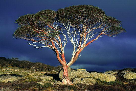 Snow Gum - Bogung High Plains, Alpine National Park, Victoria, Astraulia. Photo by Ern Mainka
