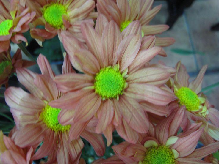 Chrysanthemum Daisy scrimsflorist.com