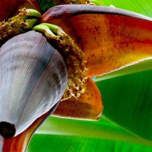 Banana-Flowering