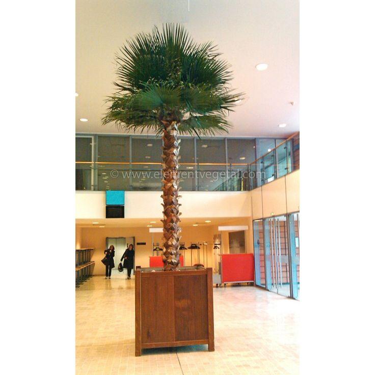 Palmier Washingtonia Géant Stabilisé 350cm 1695HT