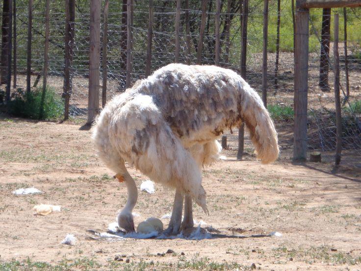 Rare white ostrich in Oudtshoorn