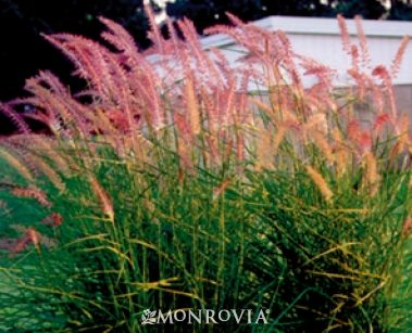 Karley rose oriental fountain grass monrovia karley for Tall oriental grass
