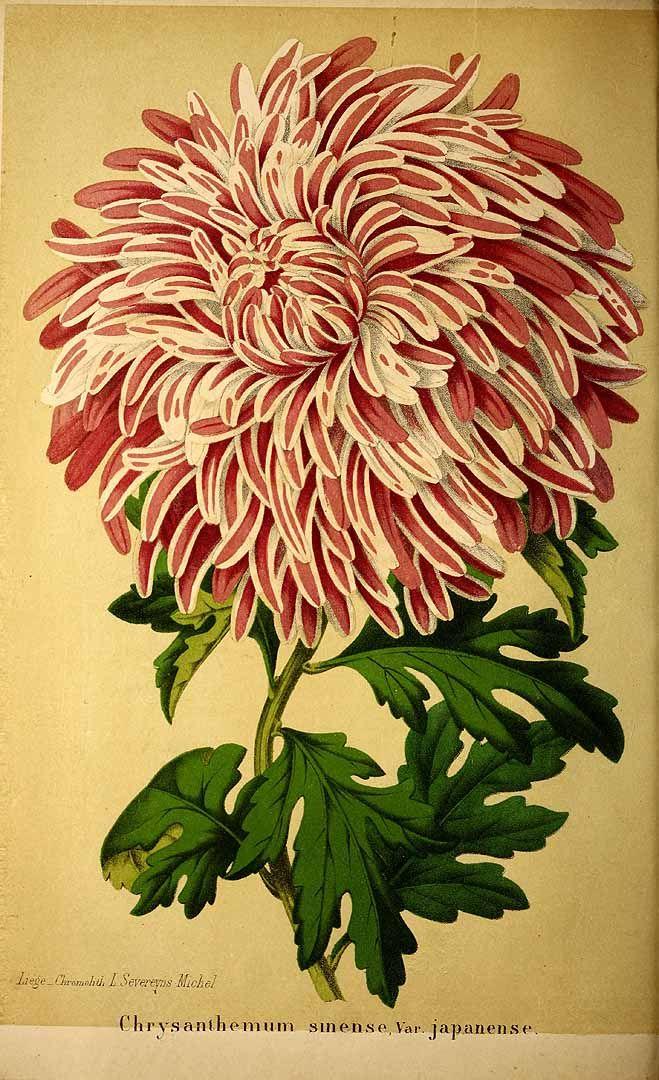 Chrysanthemum morifolium Ramat. var. japonense [as Chrysanthemum sinense Sabine var. japonense] Florists Chrysanthemum La Belgique horticole, journal des jardins et des vergers, vol. 13: p. 225, t. 12 (1863)