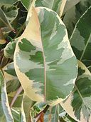 Buy Ficus Tineke Rubber Tree Plants, For Sale Online, How to grow & care for.