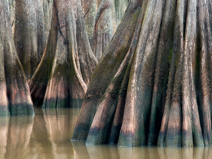 Lake Fausse Point, Louisiana swamp cypress by David Chauvin: