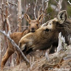 Moose mother and calf.