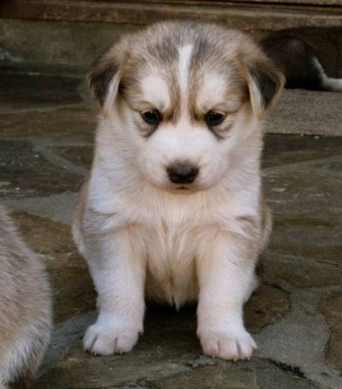 Golden Retriever Husky Mix Pups Animals Puppies Pup Husky Mix