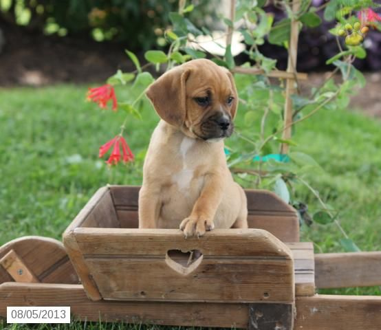 Eben - Puggle Puppy for Sale in Ephrata, PA - Puggle - Puppy for Sale