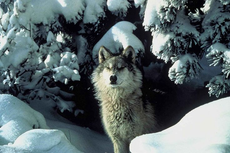 File:An endangered gray wolf peers out from a snow covered shelter.jpg