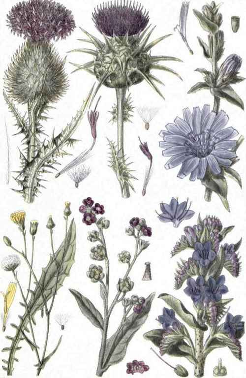 Thistle: A good food to regulate blood sugar, ideal for the liver and gallbladder. The stems of the globed leaves may be eaten, as with an artichocke.  The roots can sauteed or roasted, gratined, and so on, as well.