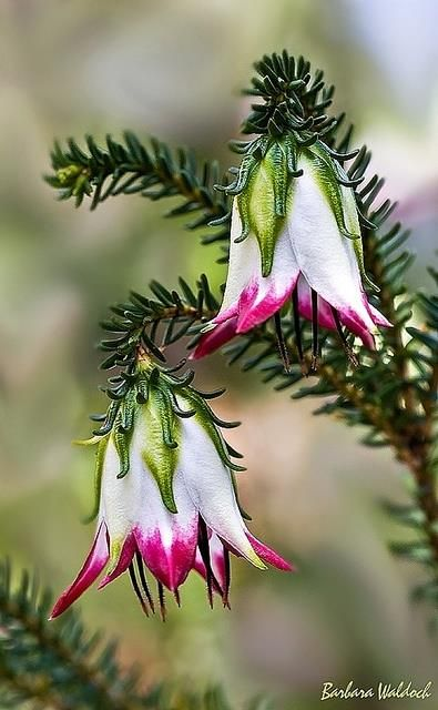 Cranbrook bell (Darwinia meeboldii) Endemic to the south-west of Western Australia.