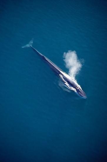 Finnwale sind in allen Weltmeeren zu Hause. Ihr Bestand wird auf 55.000 Tiere geschätzt.