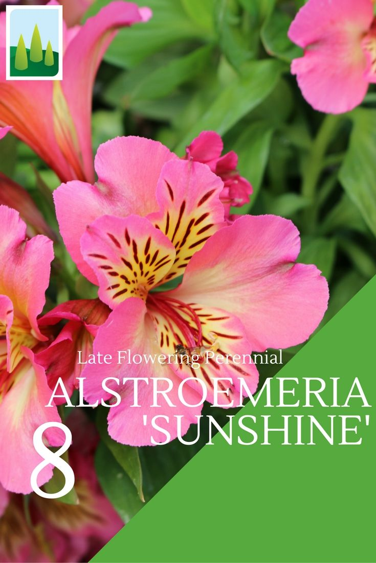 Alstroemeria 'Sunshine' Alstroemeria flower from June through to late October and are one of our top buys. #Flower #Flowering #Sunshine #Garden