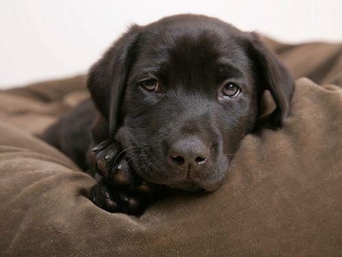 Little Labrador