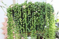 Senecio rowleyanus es el nombre científico del rosario, planta rosario o bolitas como es conocida popularmente esta curiosa suculenta. Lleva el nombre de Gordon Douglas Rowley, un botánico británic…