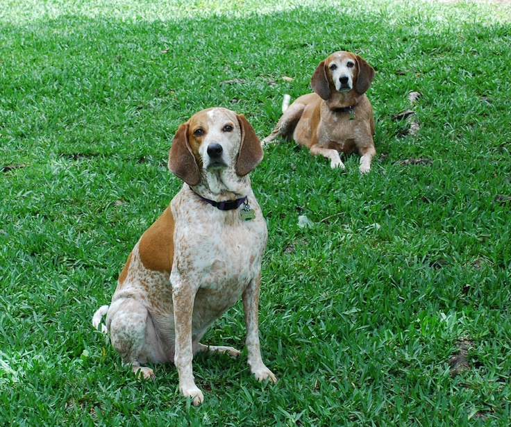 English Redtick Coonhounds