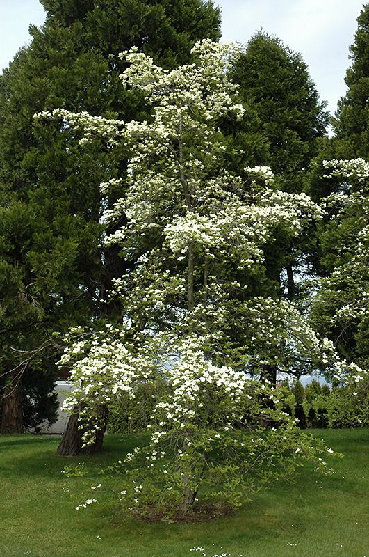 Click to view full-size photo of Eddie's White Wonder Flowering Dogwood (Cornus 'Eddie's White Wonder') at Westwood Gardens