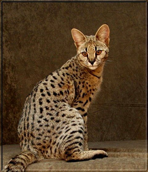 Savannah cats are a cross between a domestic house cat and a Serval (African wild cat).