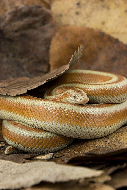 teleos:Arete on Flickr. Rosy Boa -Lichanura trivirgata (Boidae)