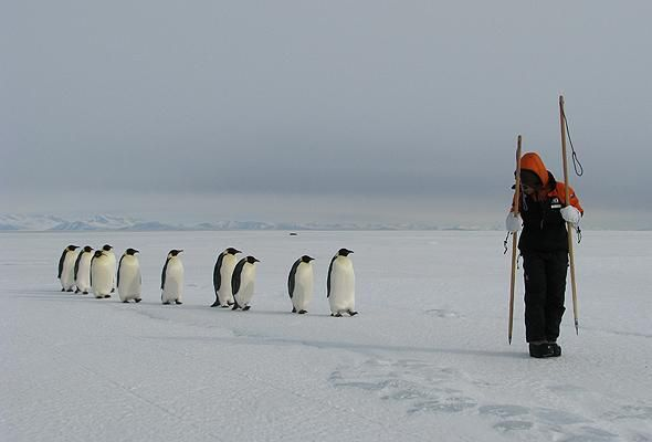 Emperor penguins following a researcher on sea ice in McMurdo Sound, Antarctica.