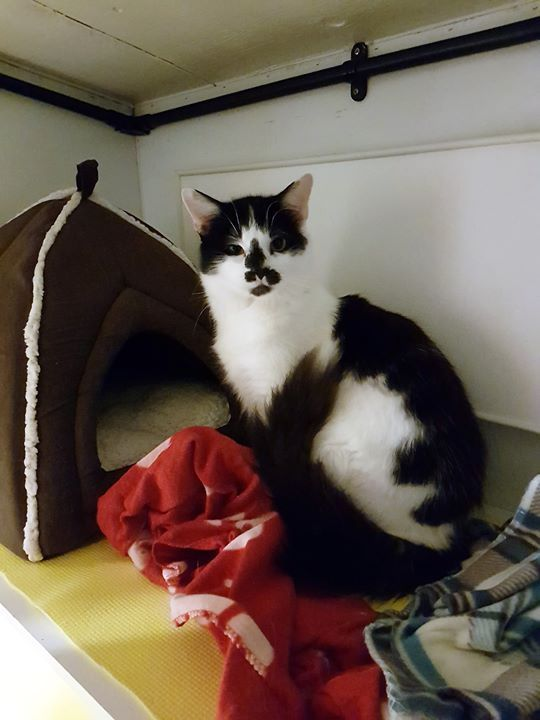 Laid Back Boy Looking To Be Pampered Sweep Is A Handsome White And Black Long Haired One Year Old Male Who Is Very Playful And Likes To Be Pamp