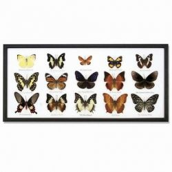 Butterflies in case.