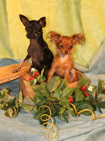 Cute Russian Toy terriers :)