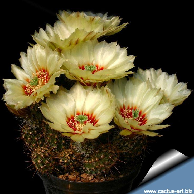 A wonderful cactus flower; Echinocereus papillosus var - angusticeps hardy to 5F