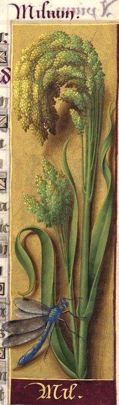 Mil - Milium (Setaria italica PB. = millet) -- Grandes Heures d'Anne de Bretagne, BNF, Ms Latin 9474, 1503-1508, f°96r