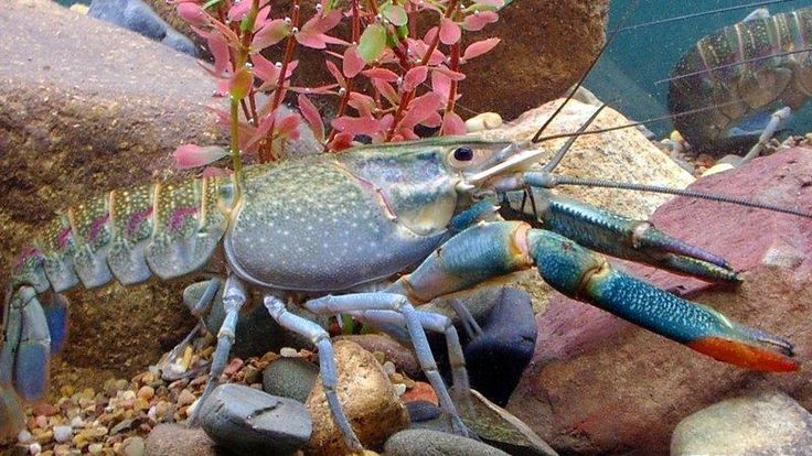 Redclaw animals fish crayfish red claw for Aquaponics fish tank for sale