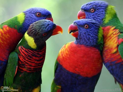a-bird-convention rainbow lorikeets