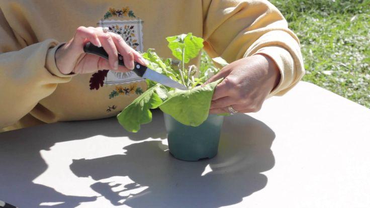 How to Prune a Gerbera : Gerbera Plant Care