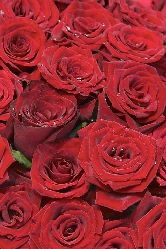 Sabías Que La Rosa Roja Significa Amor Y Respeto Ninguna Flor Ha Sabido Toca Amor Flor Ha La Ninguna Respeto Roja Dark Red Roses Red Roses Rose