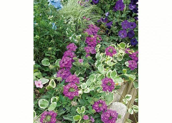 Massif de fleurs d'été : pied-d'alouette, pervenche, pétunia et verveine