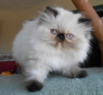 Tortie Point Himalayan Cat |  Tortie Point Himalayan Female Kitten. Looks like Whip's sister.